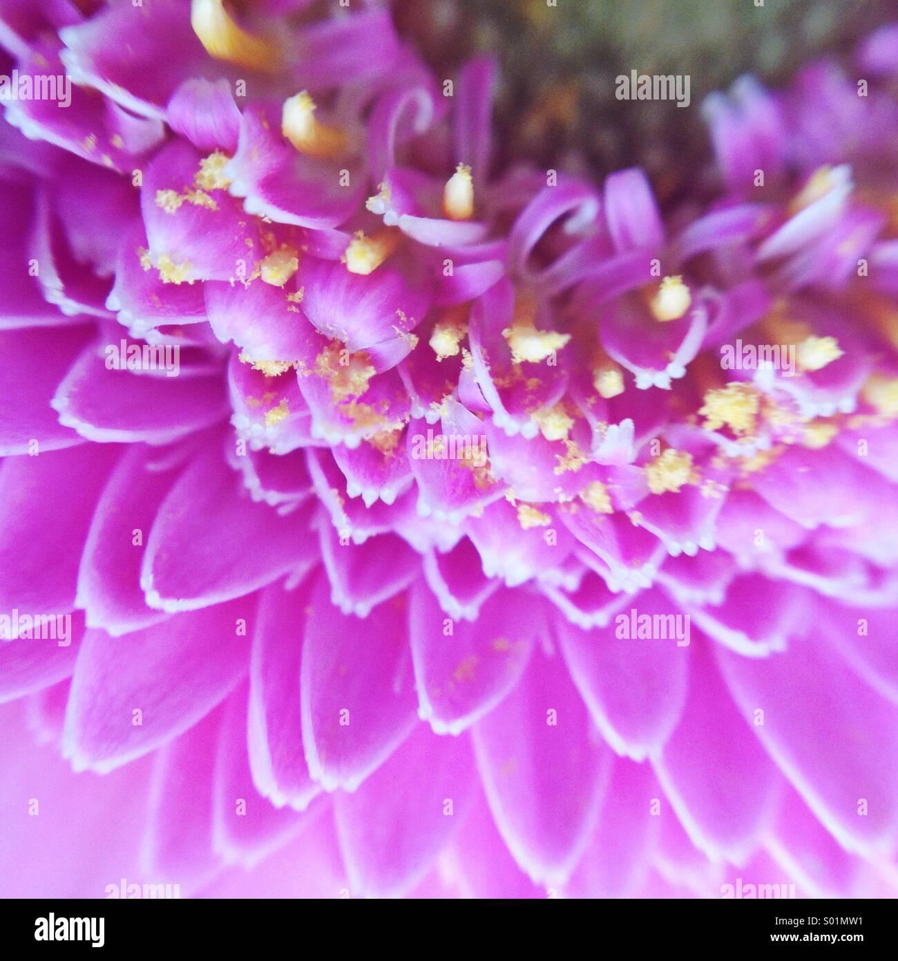 Strahlende Orchidee Stockbild