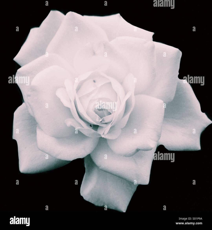 Die weiße Rose Stockbild