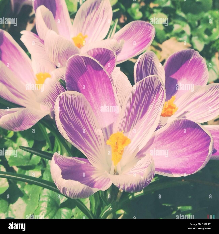 Krokus im Frühjahr Stockbild