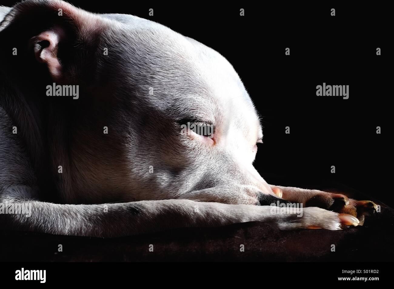 Hund-Porträt Stockbild