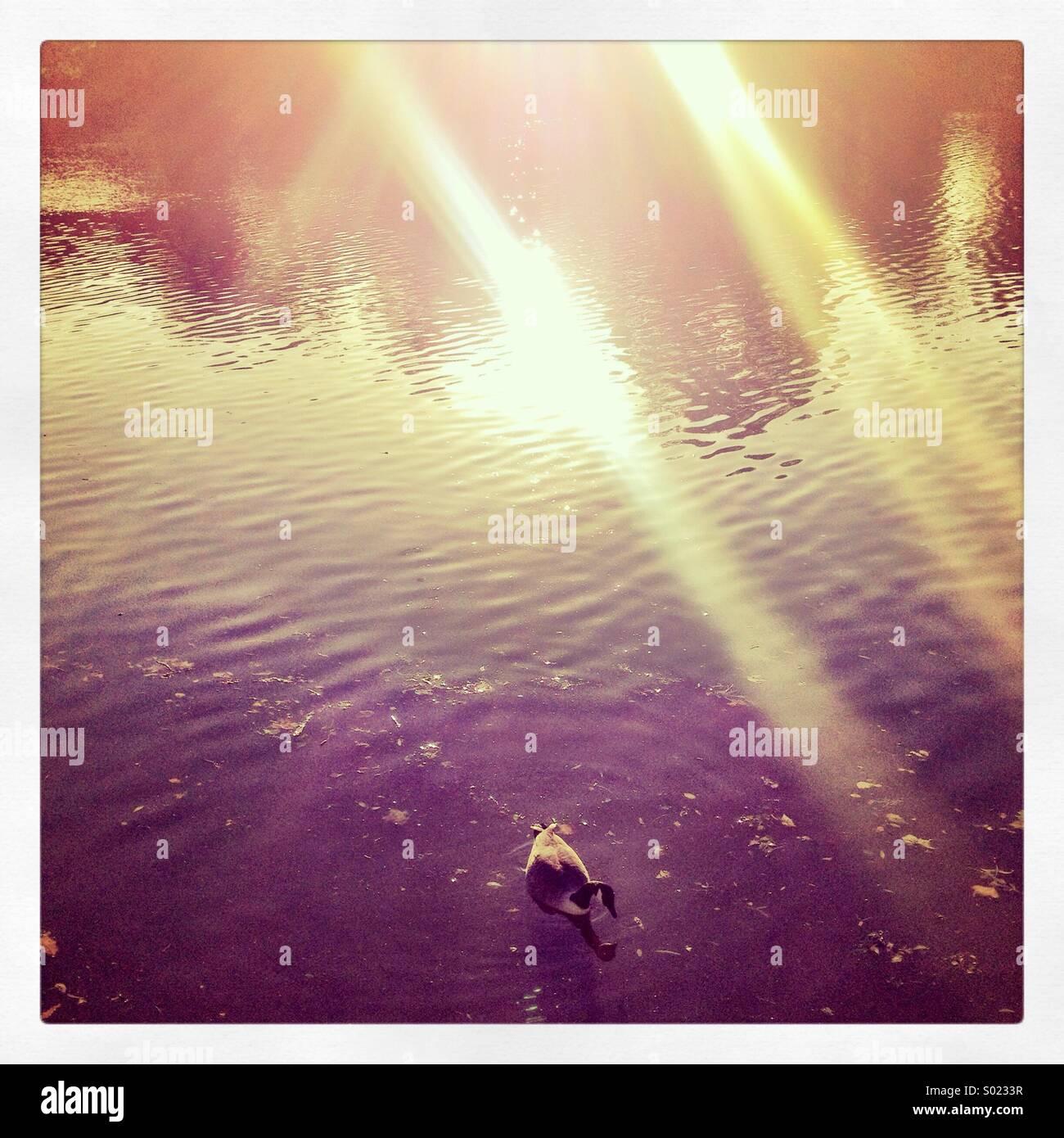 Gans in der Themse mit Blendenfleck Stockbild
