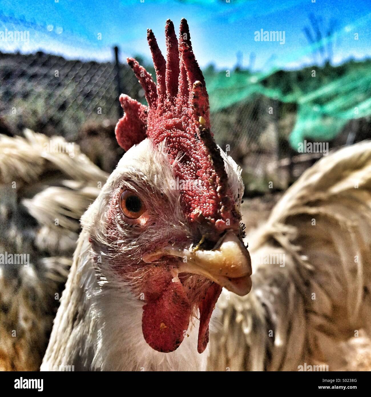 Geschlossene Schuss einer Henne Stockbild