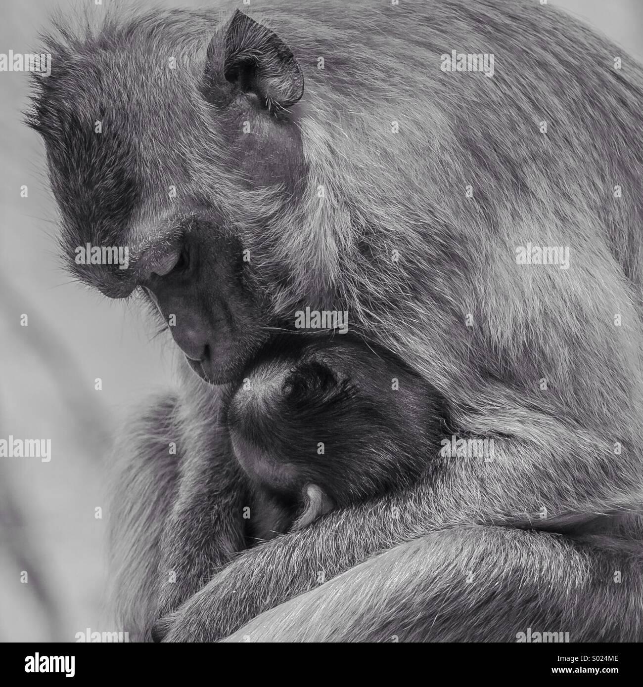 Affe-Liebe Stockbild