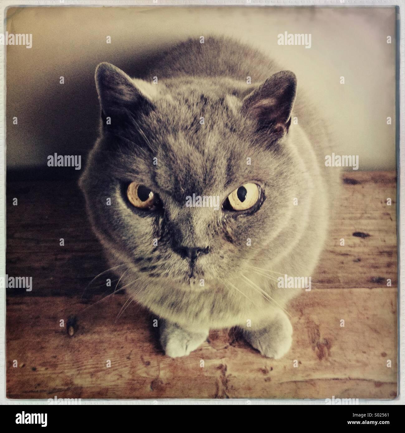 British Kurzhaar-Katze Stockbild