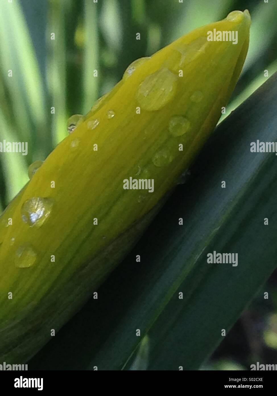 Narzissen Blütenknospe mit grünen Blättern und Wassertropfen Stockbild