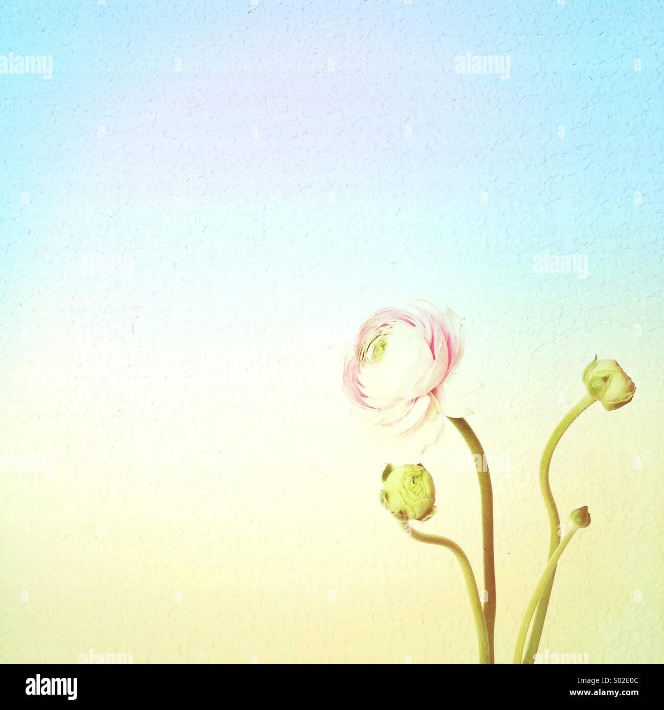 Pastell Ranunculus Stockbild