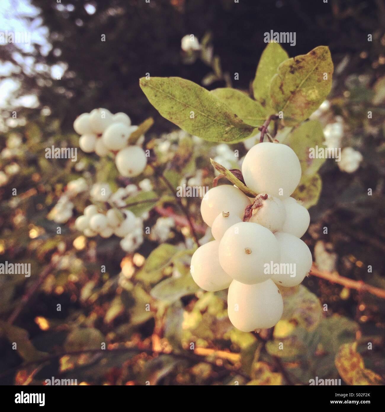 Weiße Frucht Stockbild