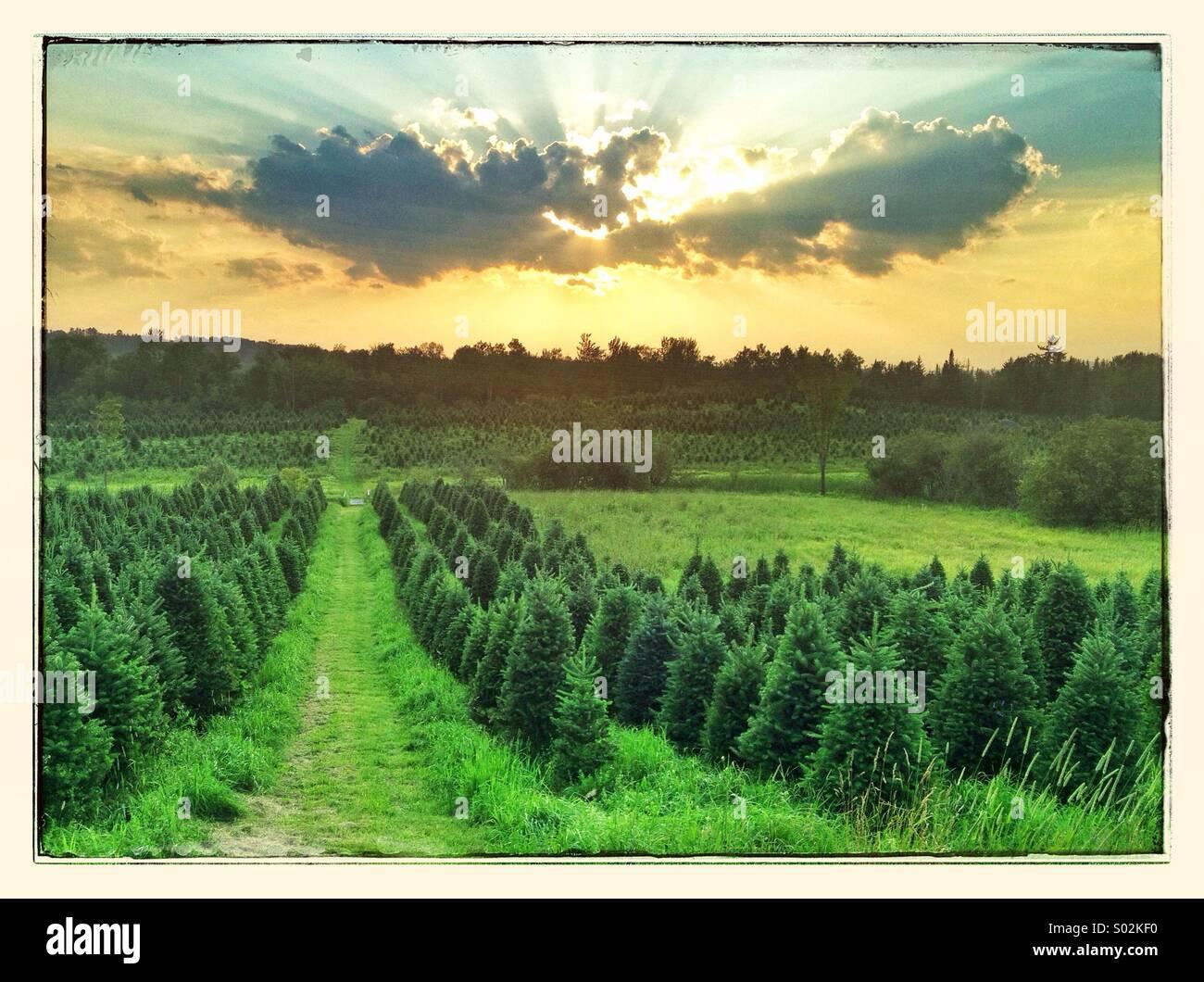 Reihen von Weihnachtsbäume Weihnachtsbaum Bauernhof in Bethlehem, New Hampshire. Stockbild