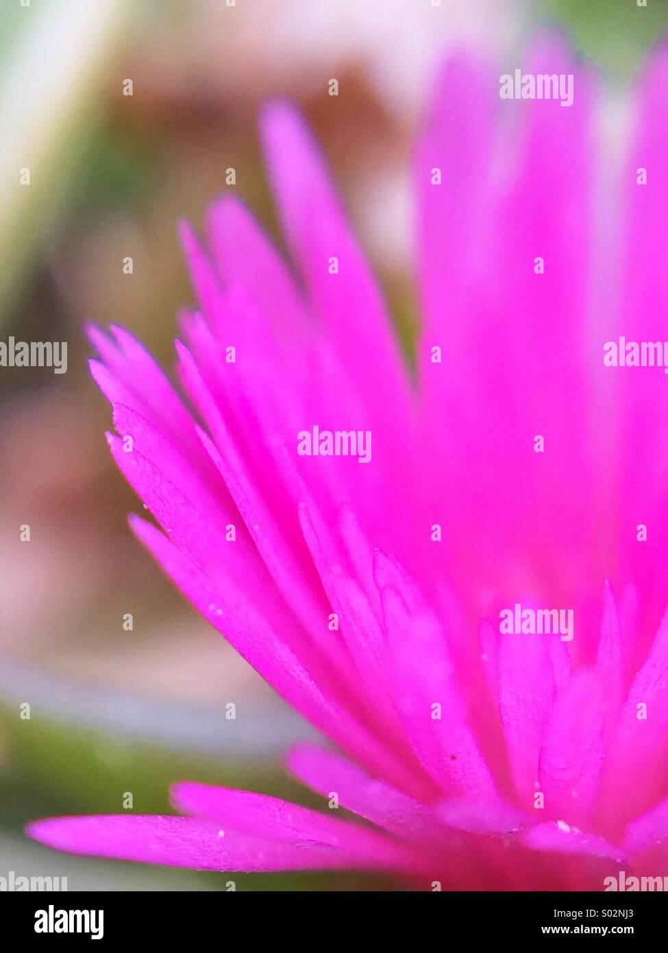 Makro-Ansicht einer rosa Blume mit mehreren Blütenblättern. Stockbild