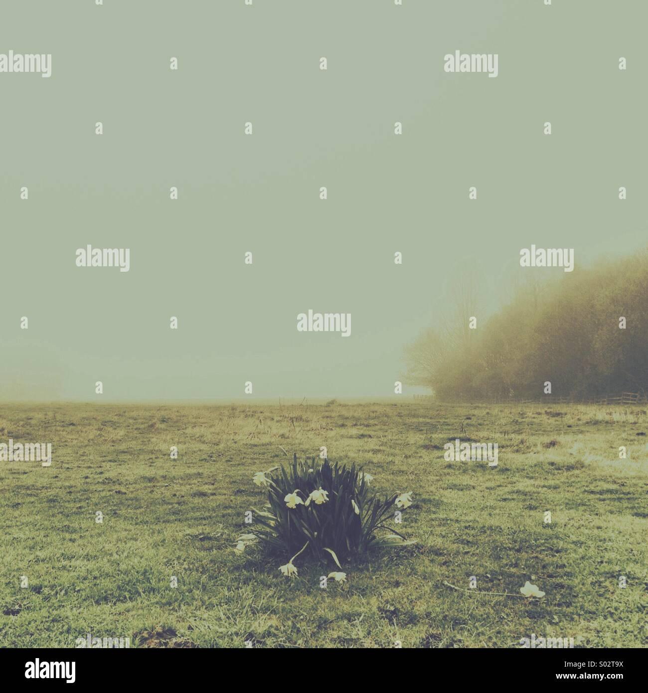 Narzissen wie eine Insel im Dunst von einem Frühlingsmorgen. Eine einzelne freistehende Blume und Stiel liegt Stockbild