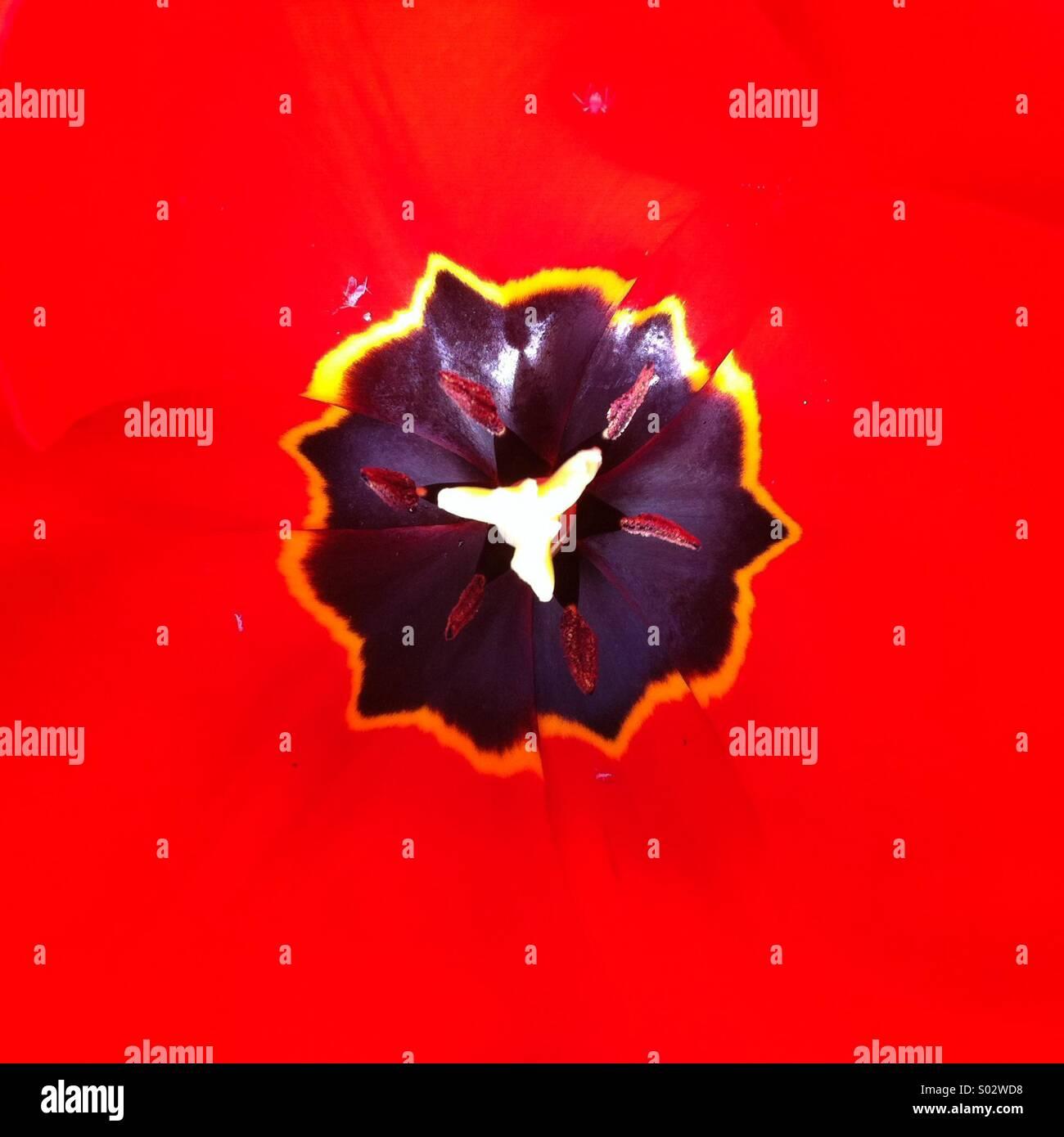 Schwarze ungleichmäßige Form auf starken roten Hintergrund Tulpe Blume Nahaufnahme Stockbild