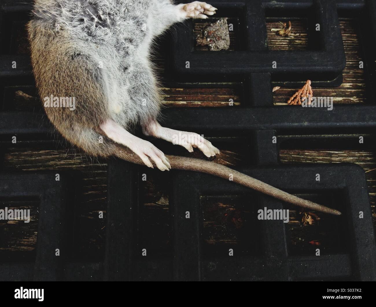 Das hintere Ende des eine tote Maus auf der Seite auf eine Matte legen. Stockbild