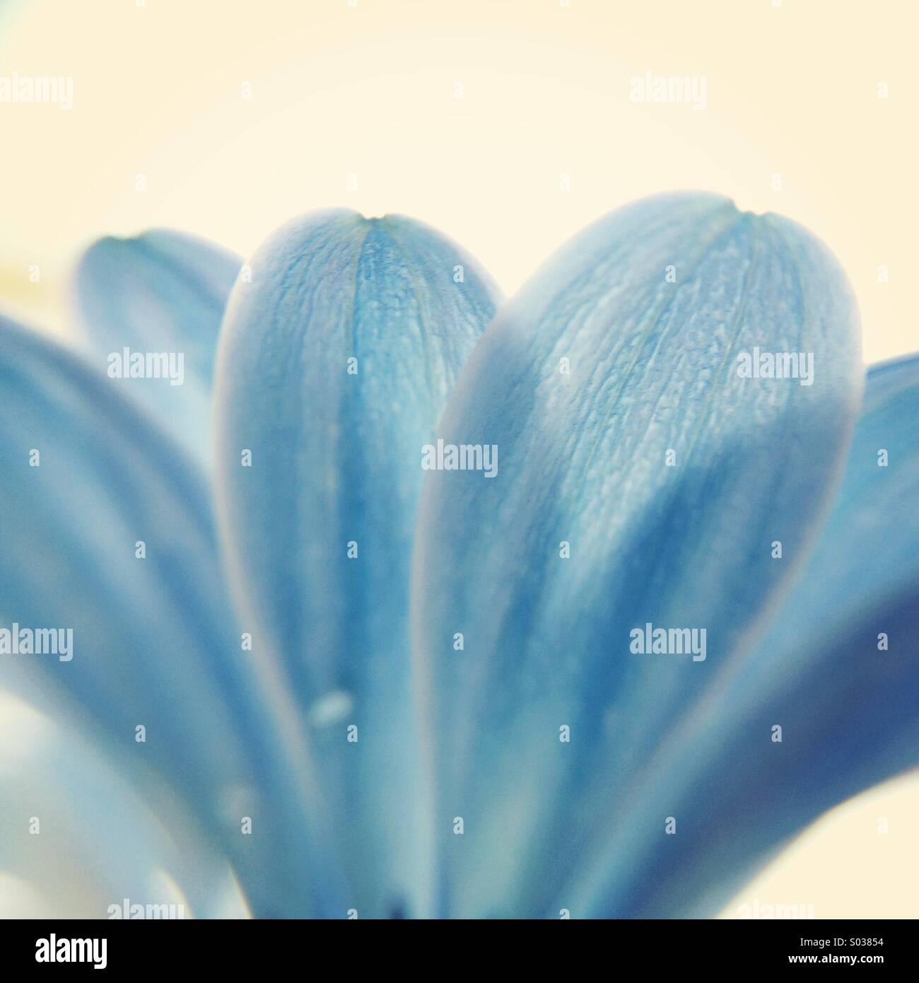 Makro der Blütenblätter einer blauen Osteospermum Blume. Stockbild