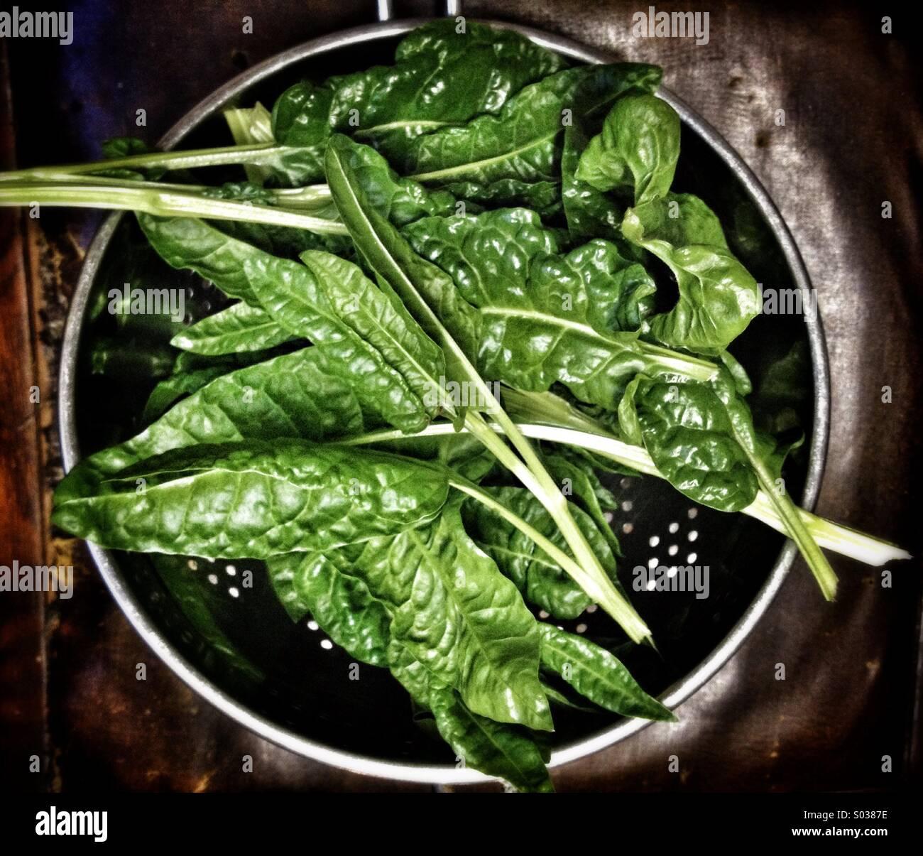 Frisch geerntete rote Spinat-Rübe Blätter in einem Sieb Stockbild