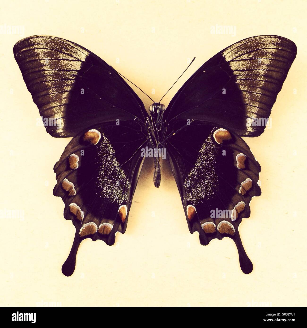 Schmetterling Ulysses Rückseite Stockbild