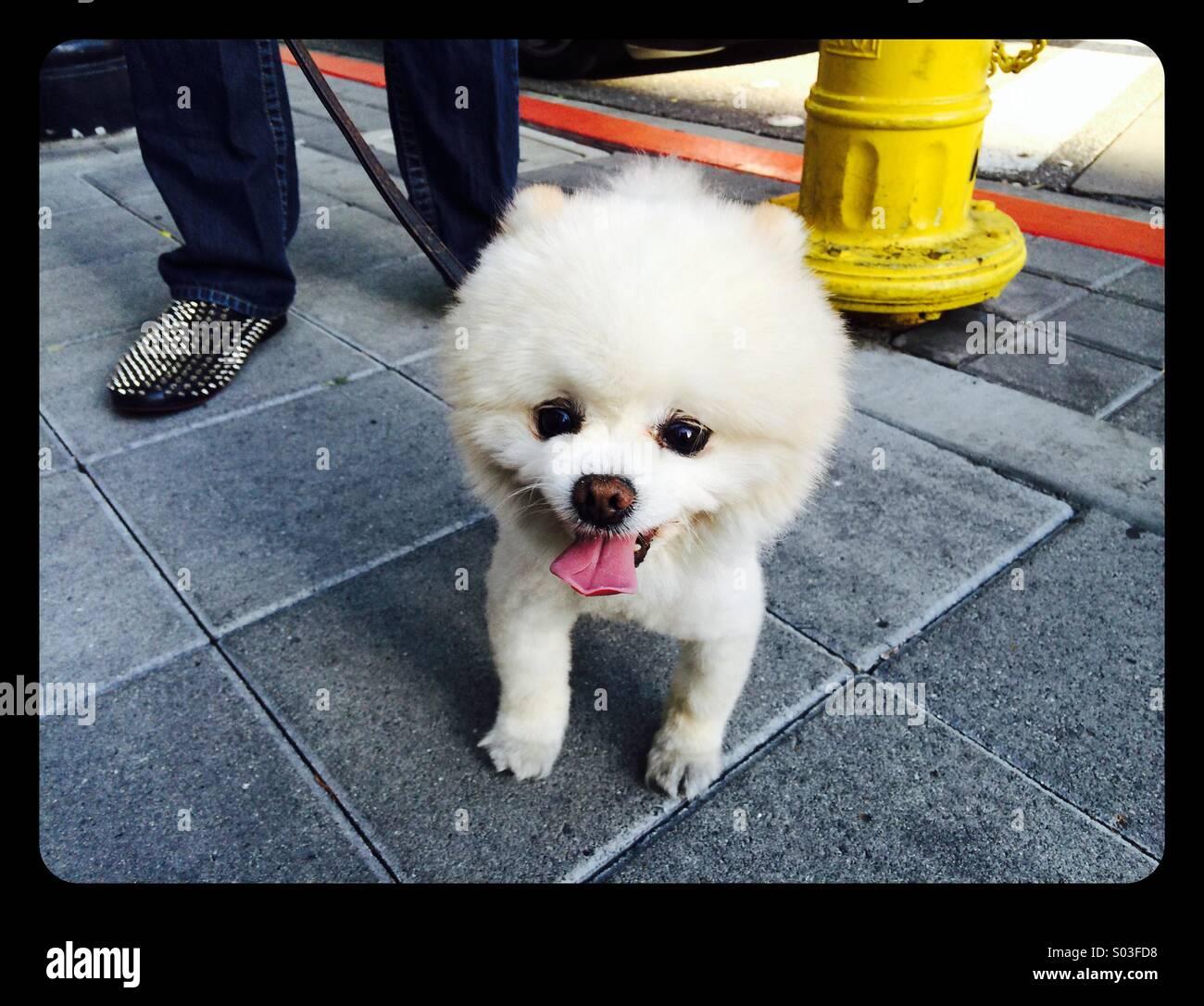 Pommerschen Hund Mit Teddy Bear Schnitt Stockfoto Bild 309864612