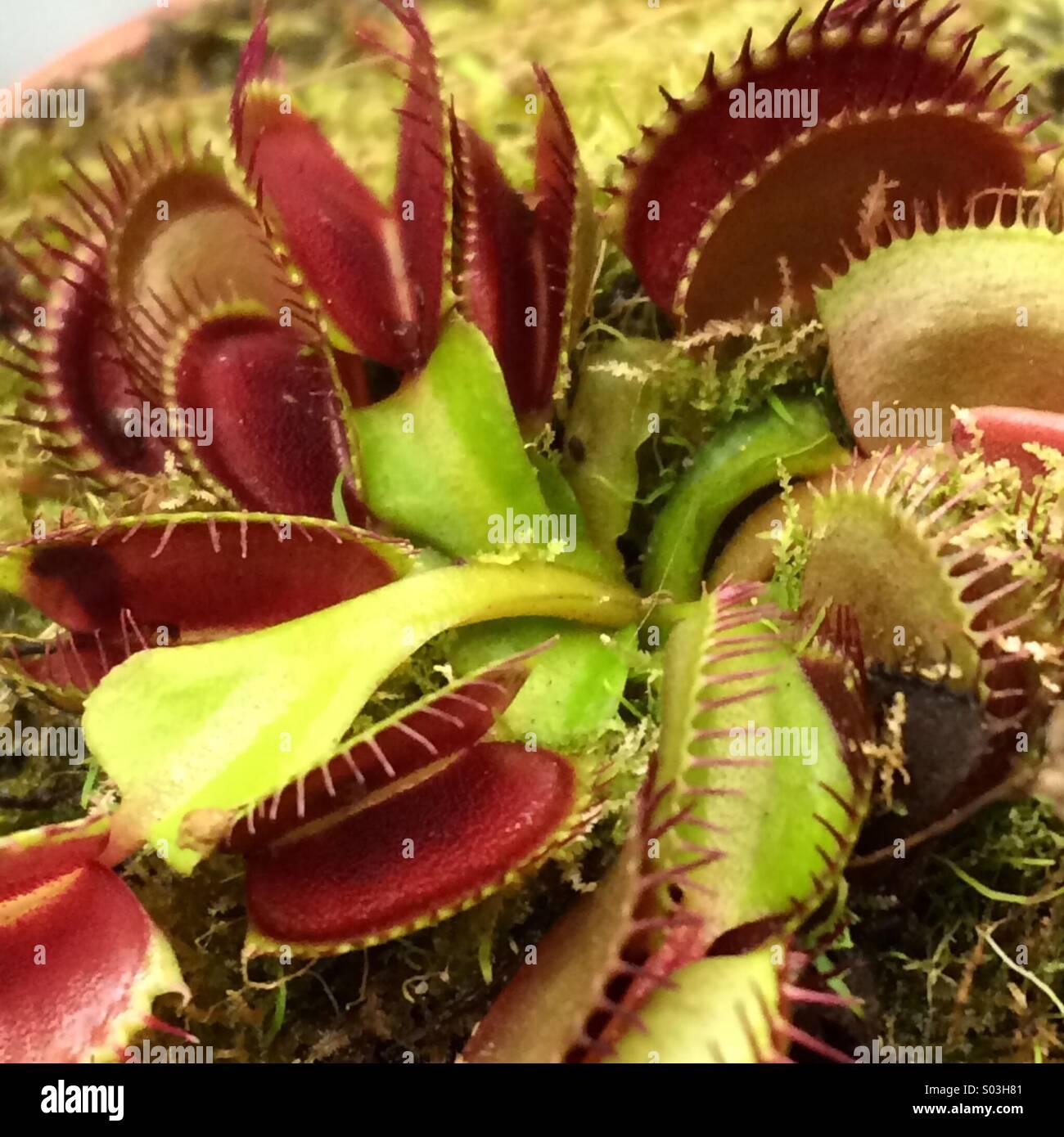venus fliegenfalle pflanze stockfoto bild 309866033 alamy. Black Bedroom Furniture Sets. Home Design Ideas