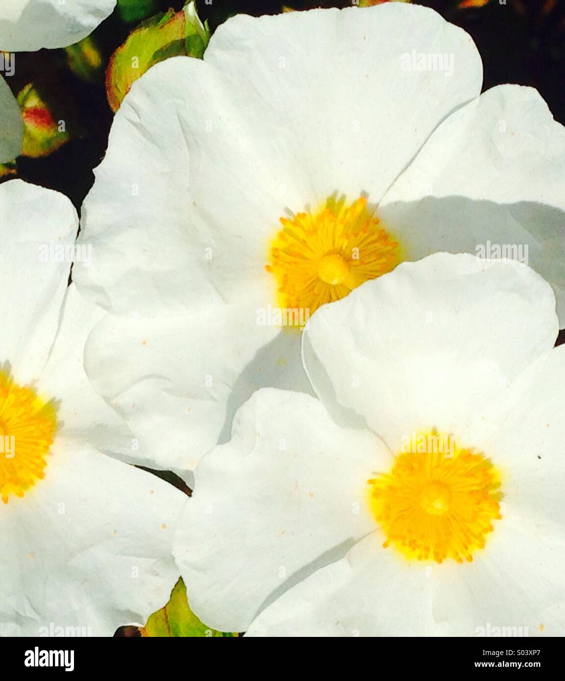 White Flowers With Yellow Centers Stockfotos White Flowers With
