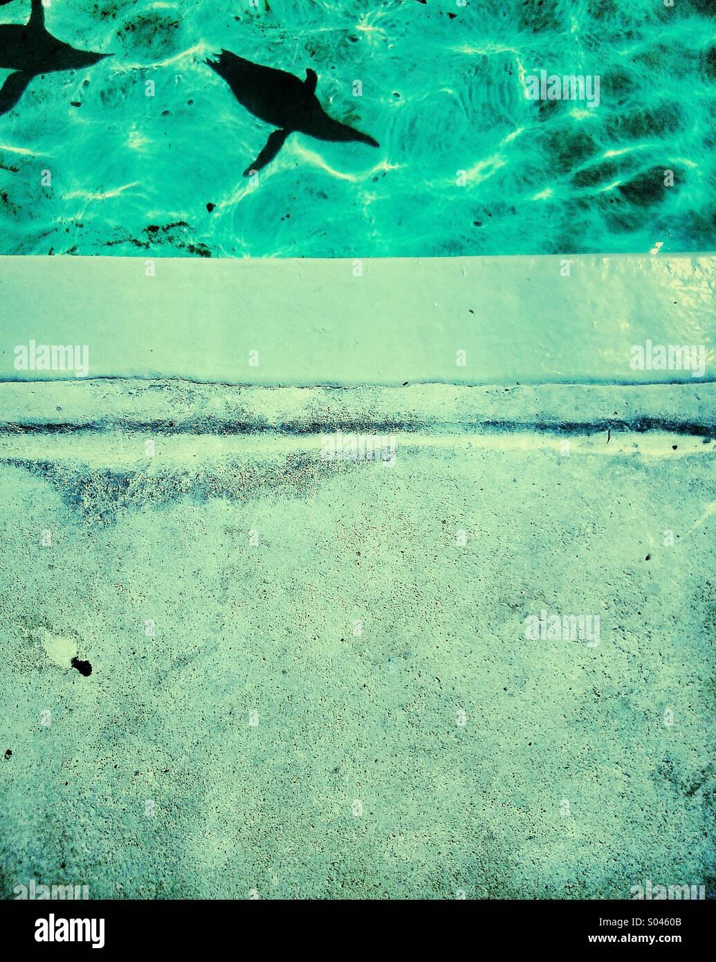 Schatten der zwei Pinguine schwimmen im pool Stockbild
