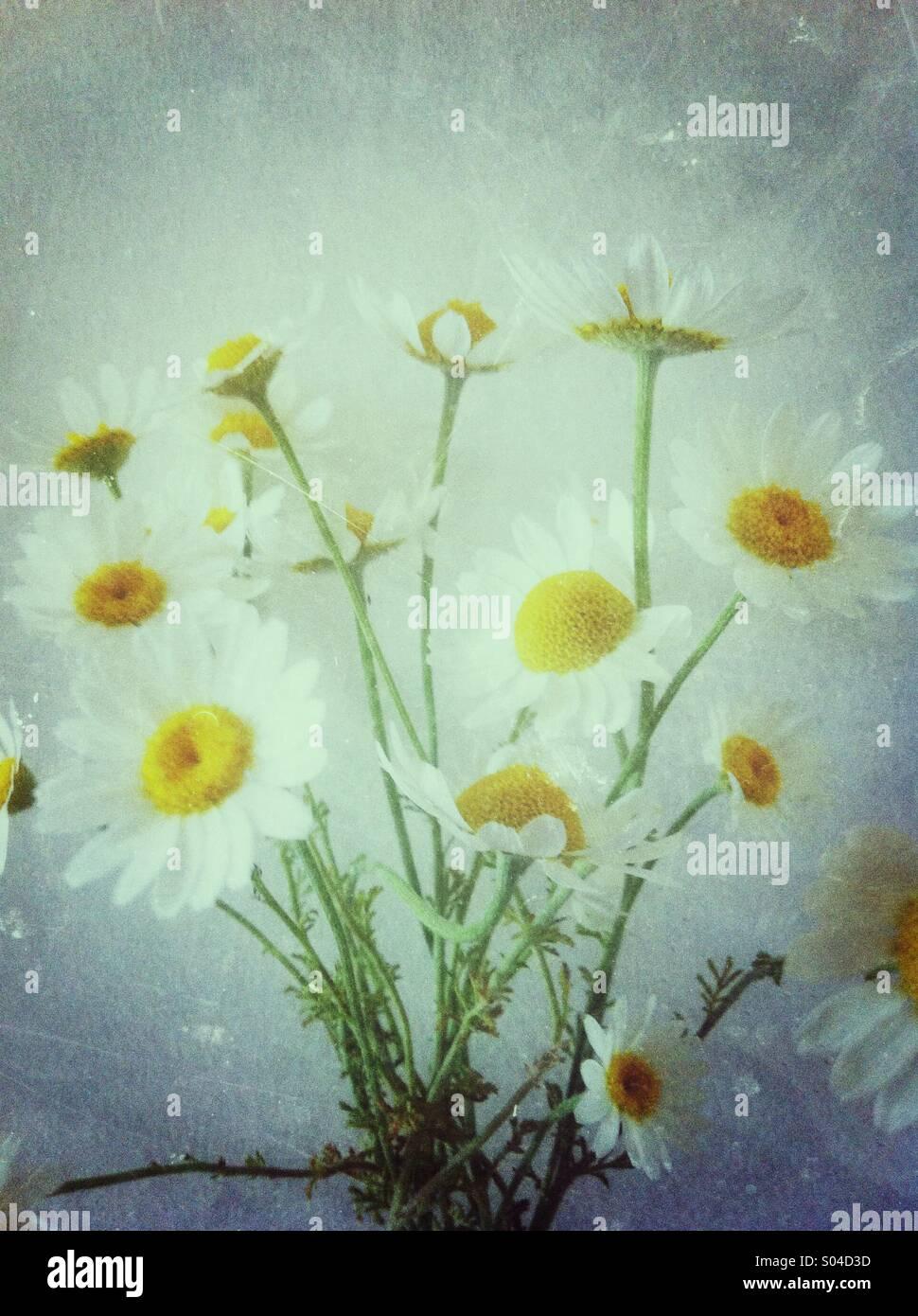 Blumen-weiße Gänseblümchen Stockbild