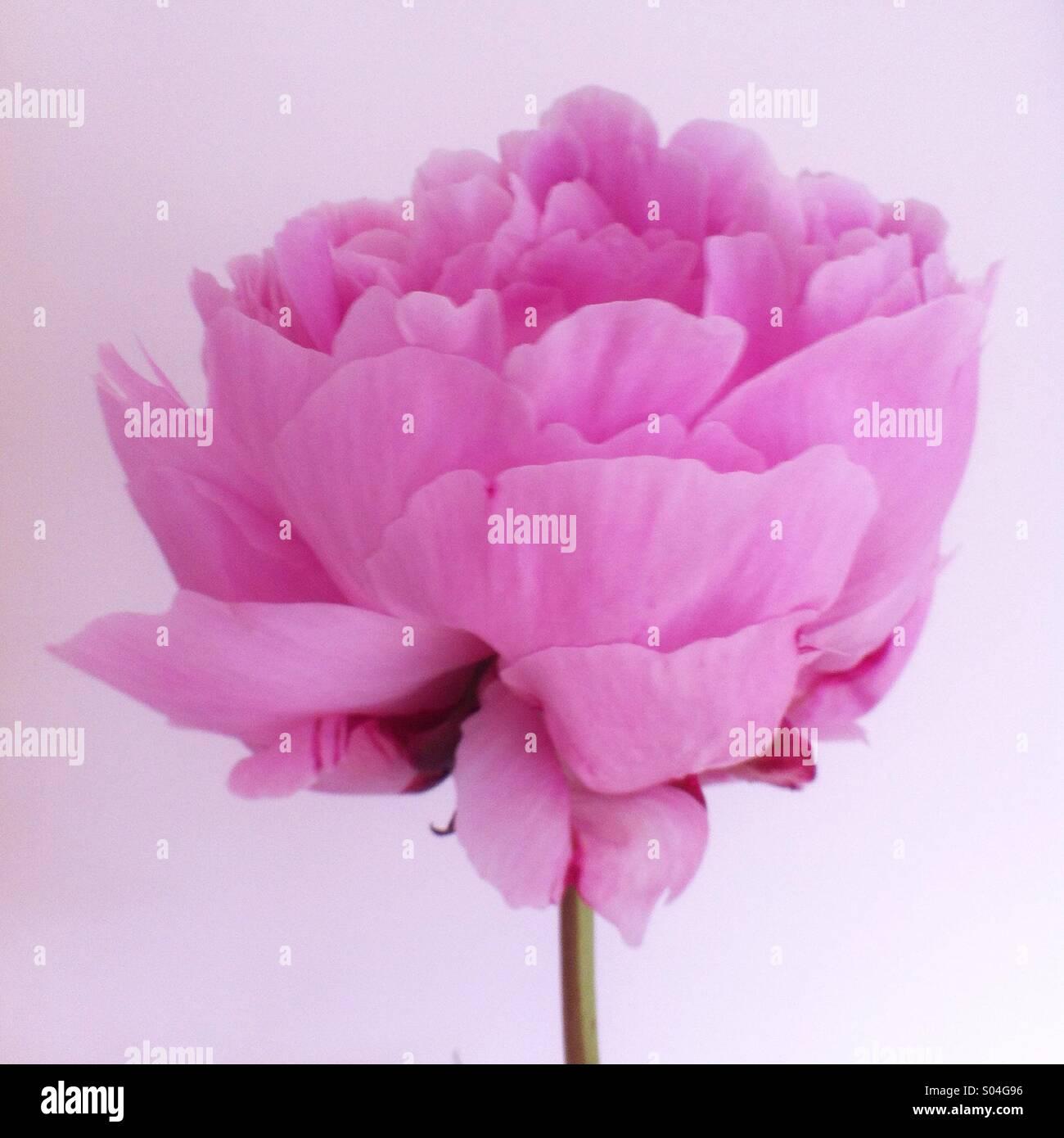 Pastell rosa Pfingstrose Blume Stockbild
