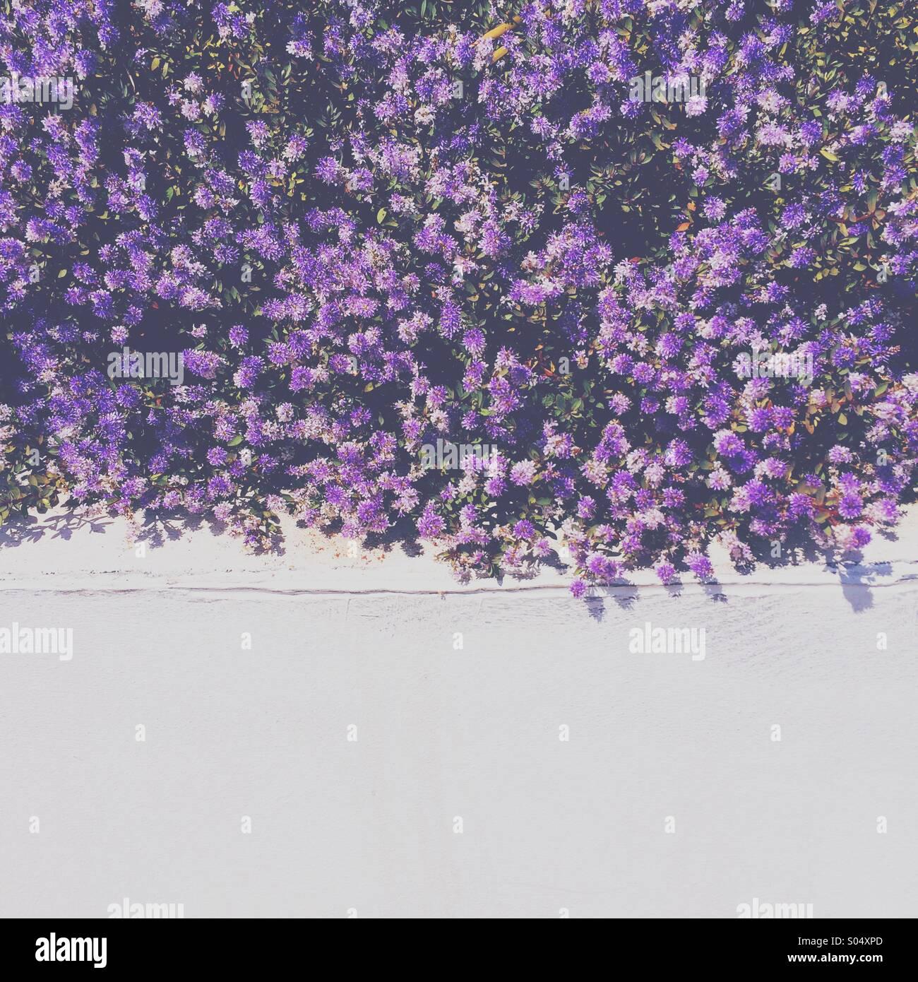 Lila Blüten, die überhängend weißen Wand Stockbild