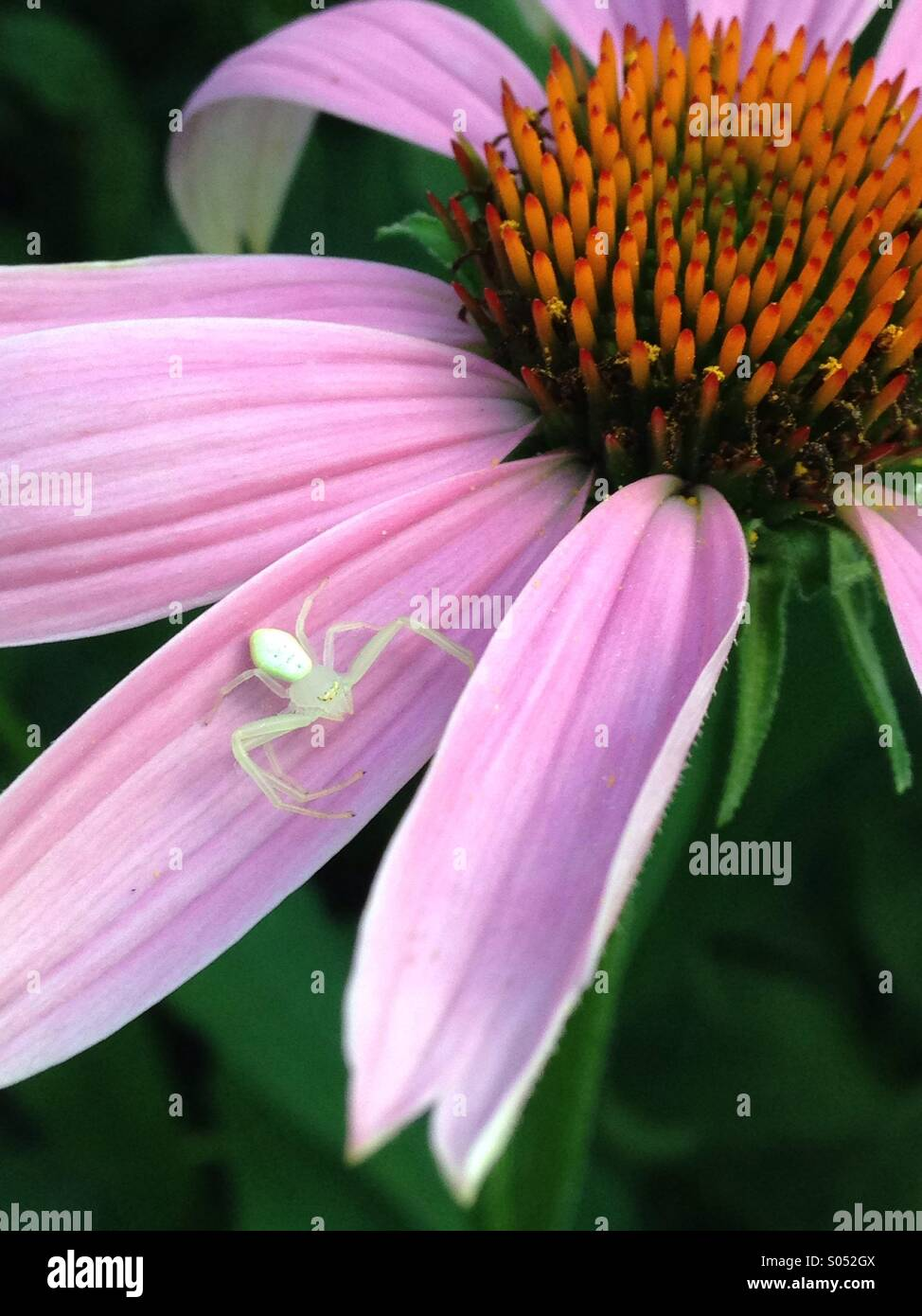 Weiße Spinne auf Echinacea. Stockbild