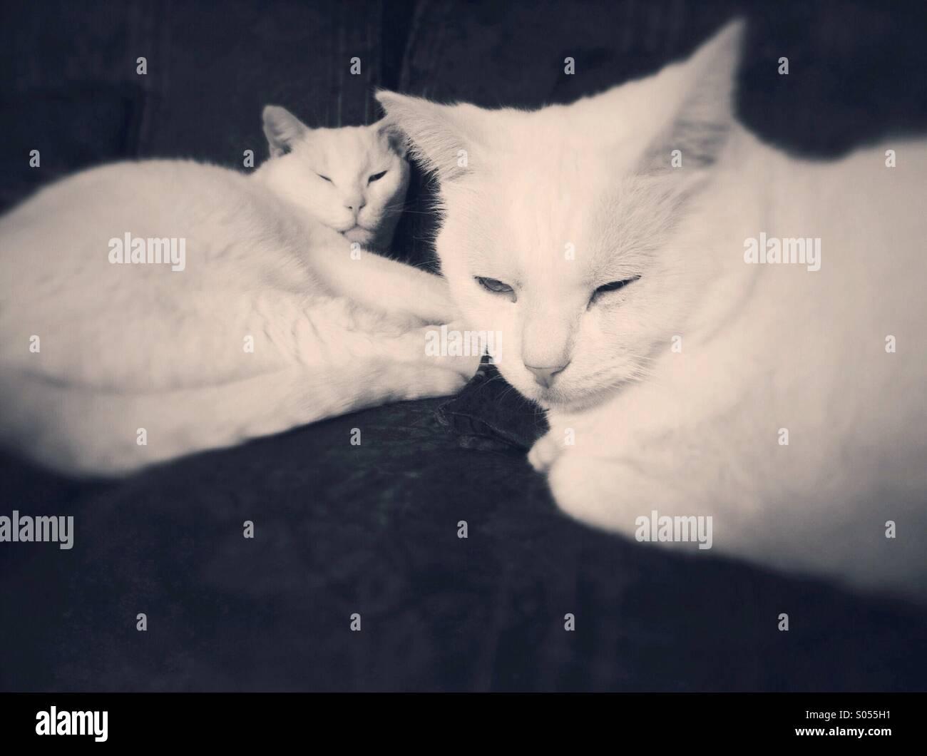 Zwei verschlafenen weißen männlichen inländischen kurze Haare Katzen dösen auf Wohnzimmer-Möbel. Stockbild
