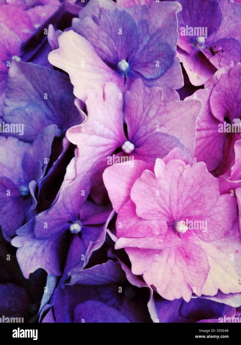 Hydrangea Hortensis Blüte Stockbild