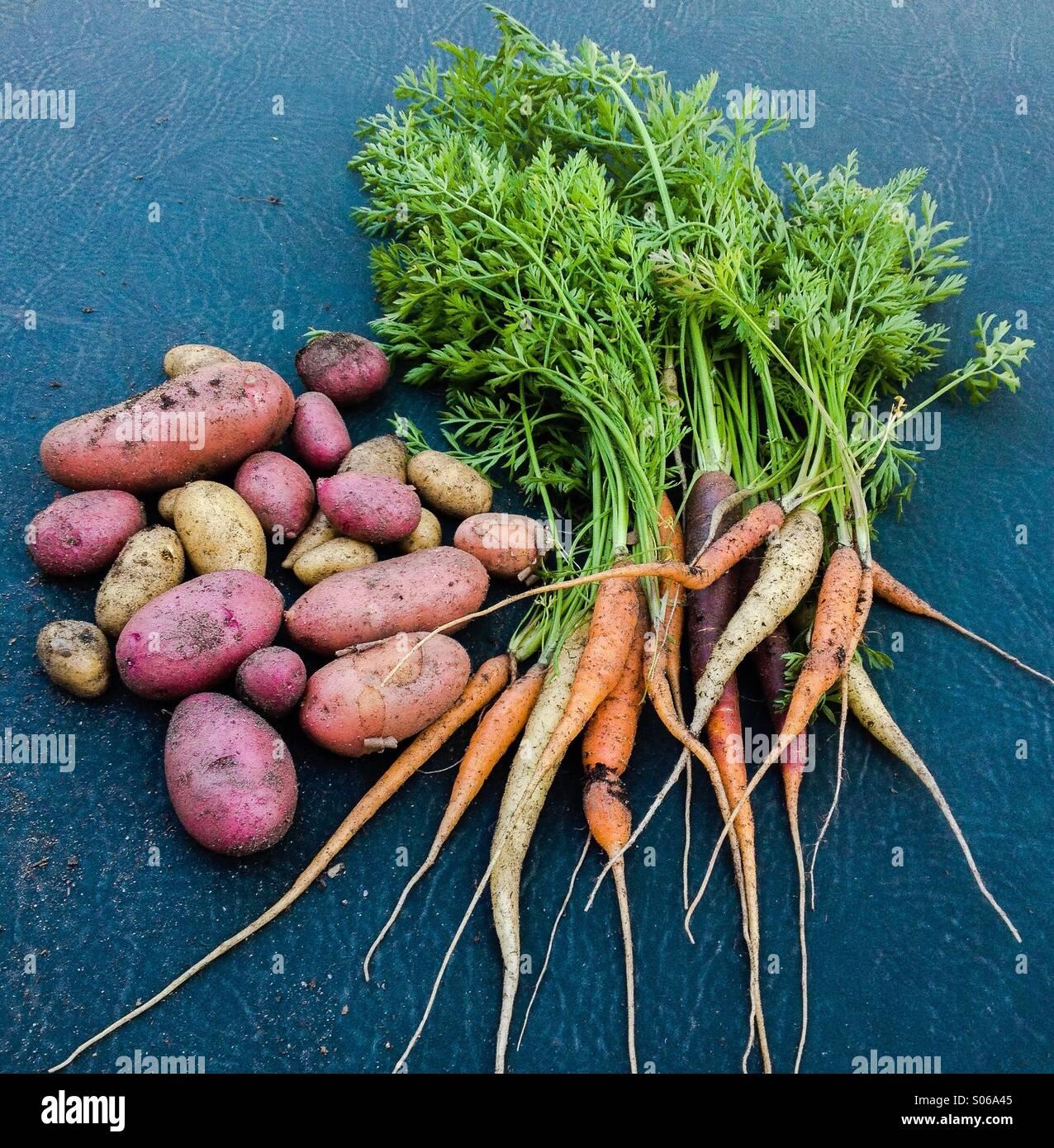 Wurzelgemüse, Regenbogen-Karotten und Kartoffeln Fingerling. Städtische Landwirtschaft. Stockbild