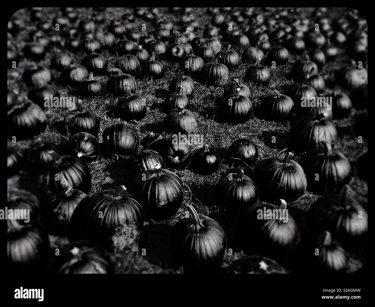 Ein Feld von Kürbissen, in schwarz und weiß. Stockbild