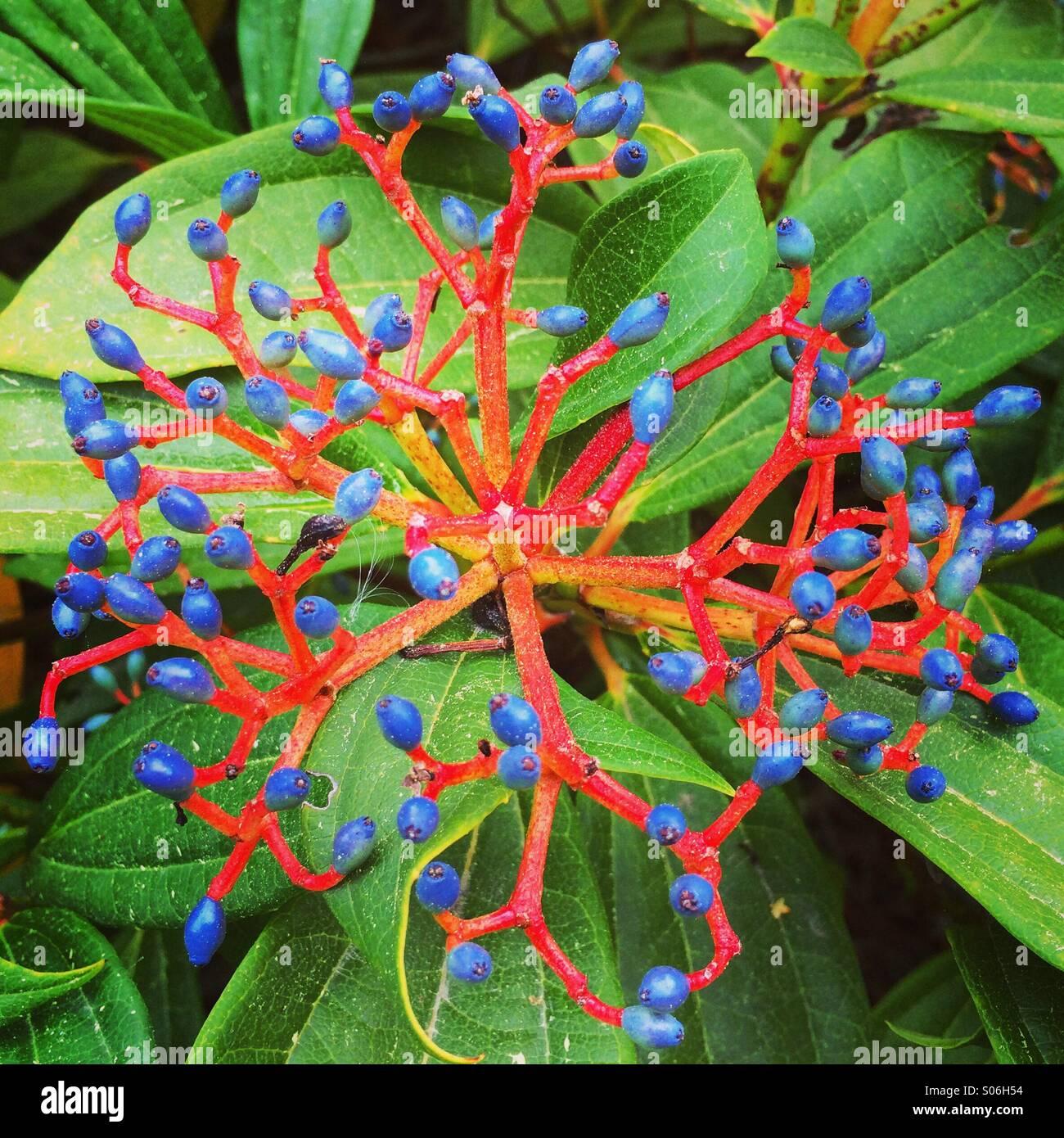Samen auf Garten Strauch, Seattle, Washington Stockbild