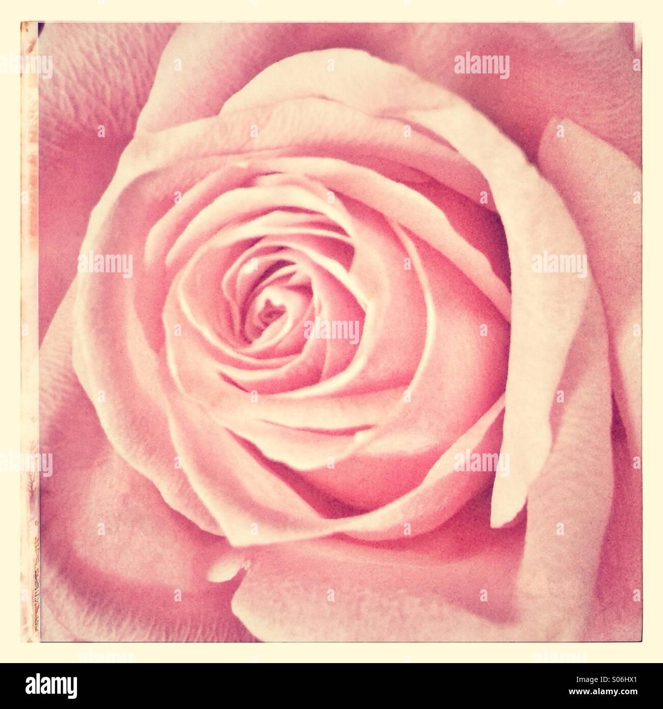 Rosa rose Stockbild