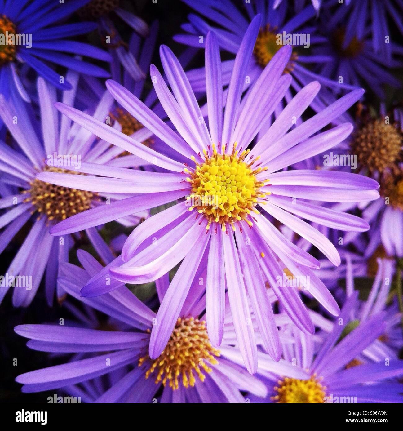Lila Blumen in einem Garten. Stockbild