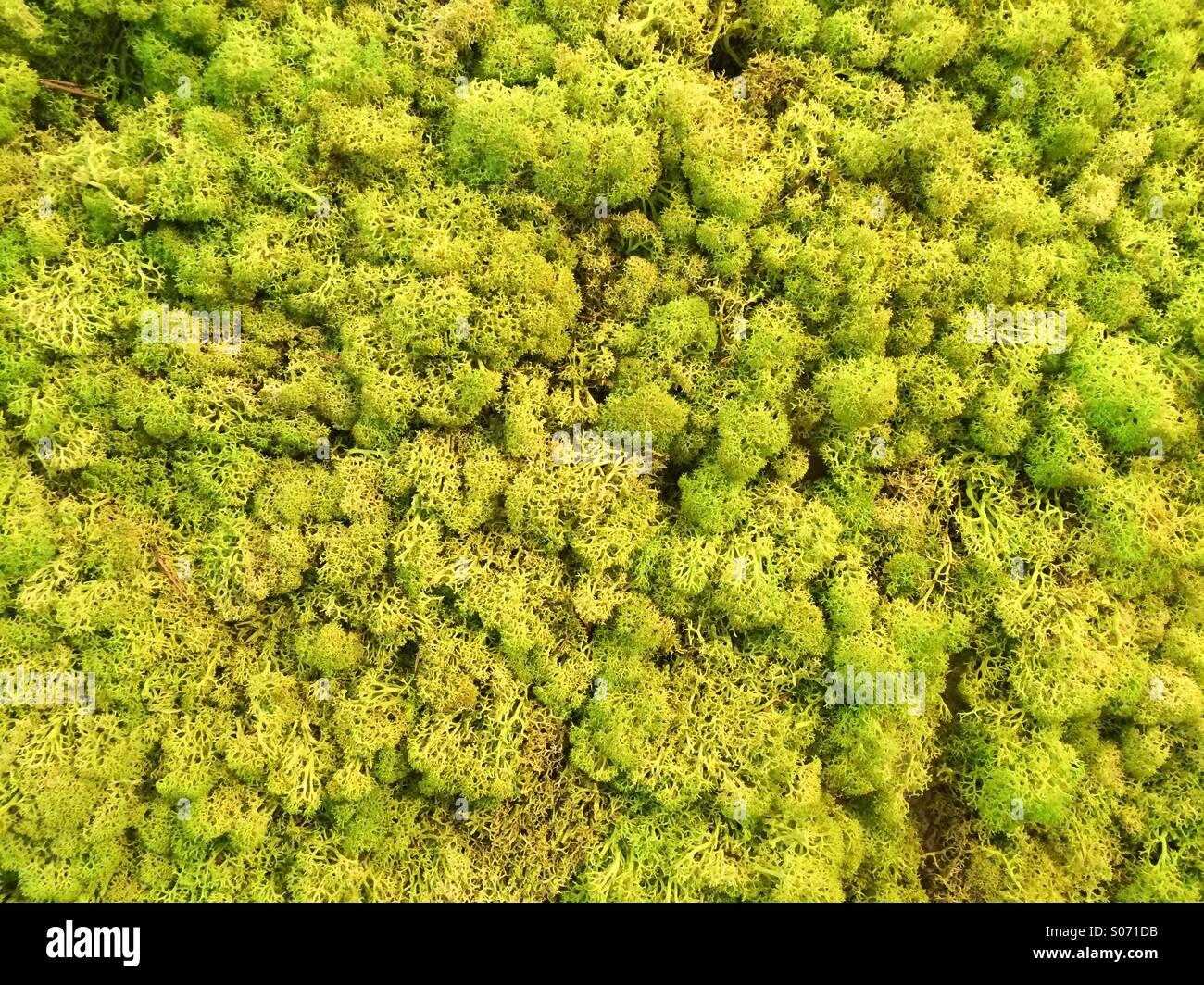 Grünes Moos Wand Hintergrund zu leben Stockbild