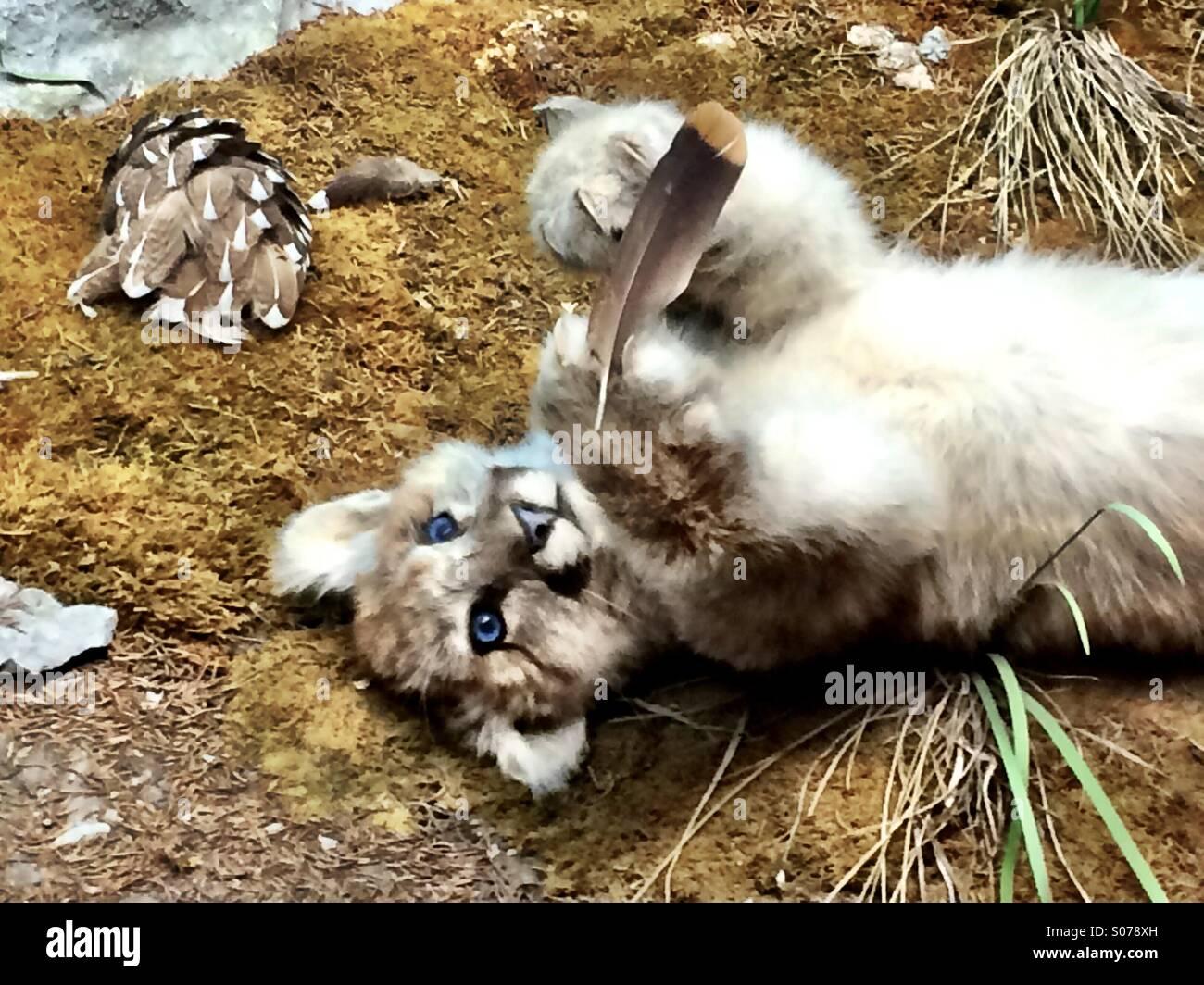 Puma Steht Auf Junges Fleisch