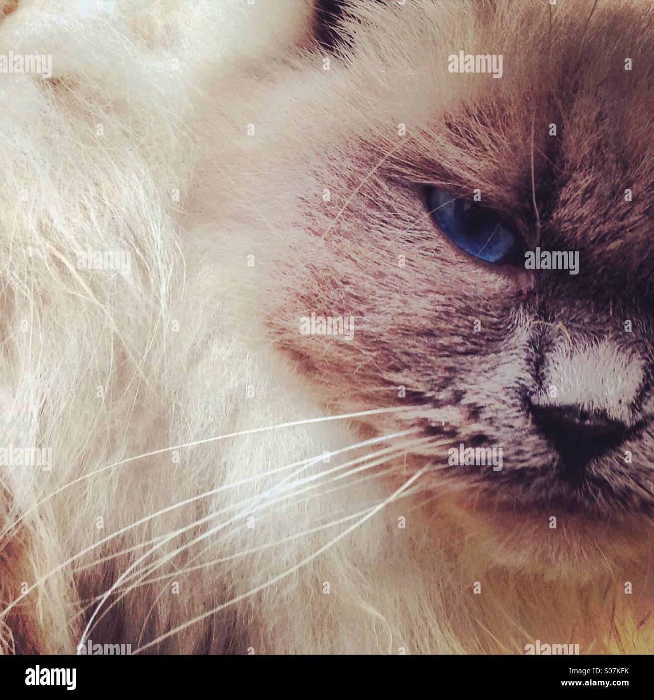 Nahaufnahme von Rag Doll Katze Stockfoto