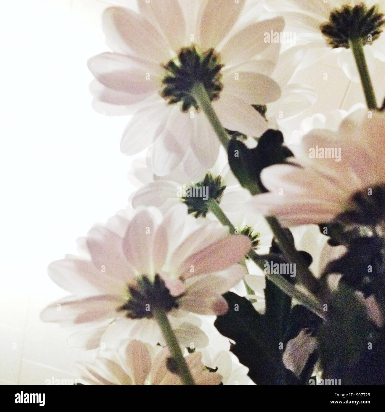 Blick auf weißen Blüten von unter Stockfoto