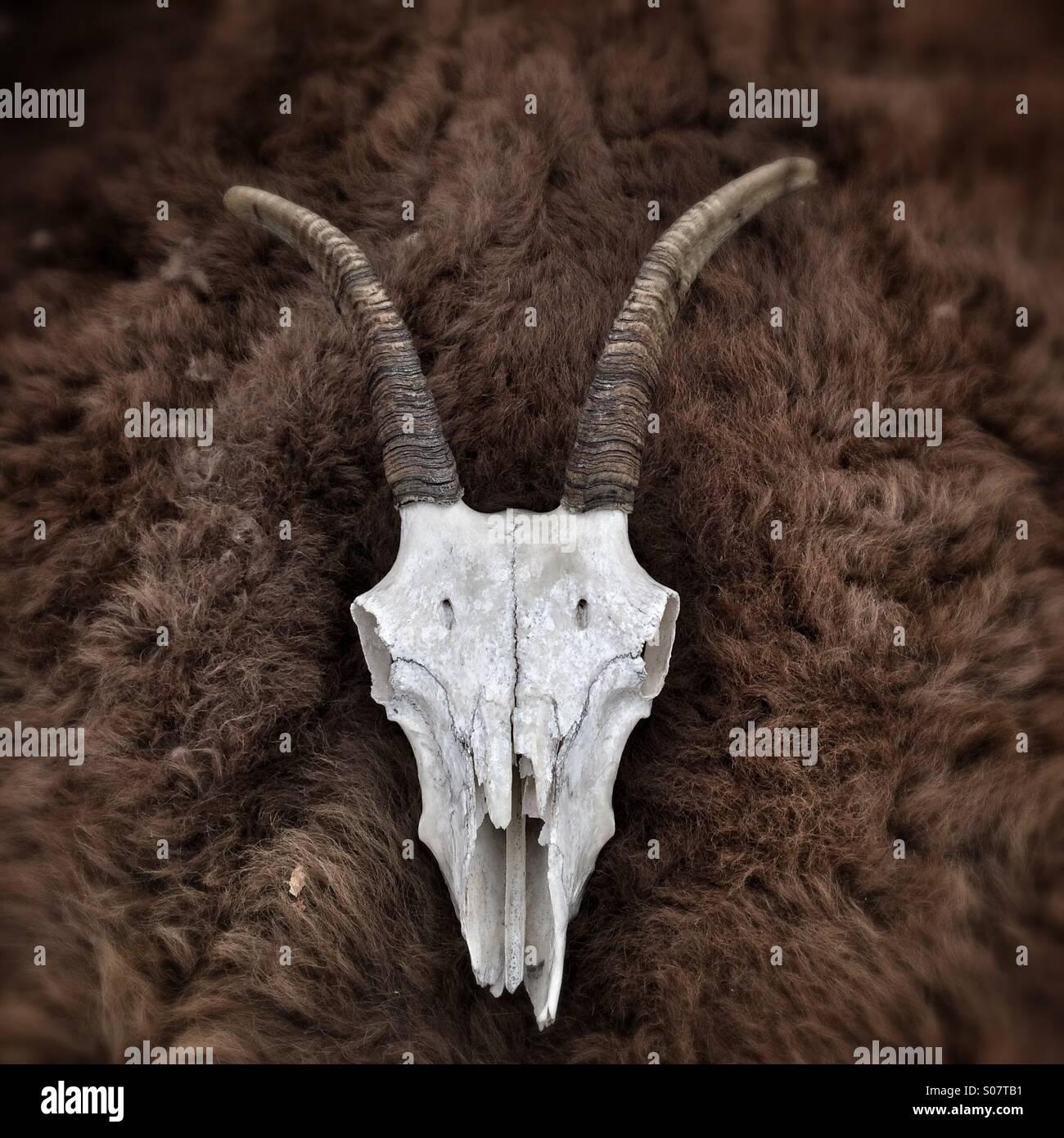 Tierische Schädel mit Hörnern Stockfoto