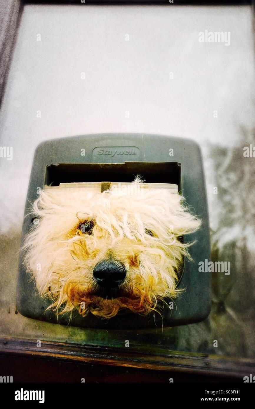 Bellender Hund in eine Katzenklappe mad- Stockbild