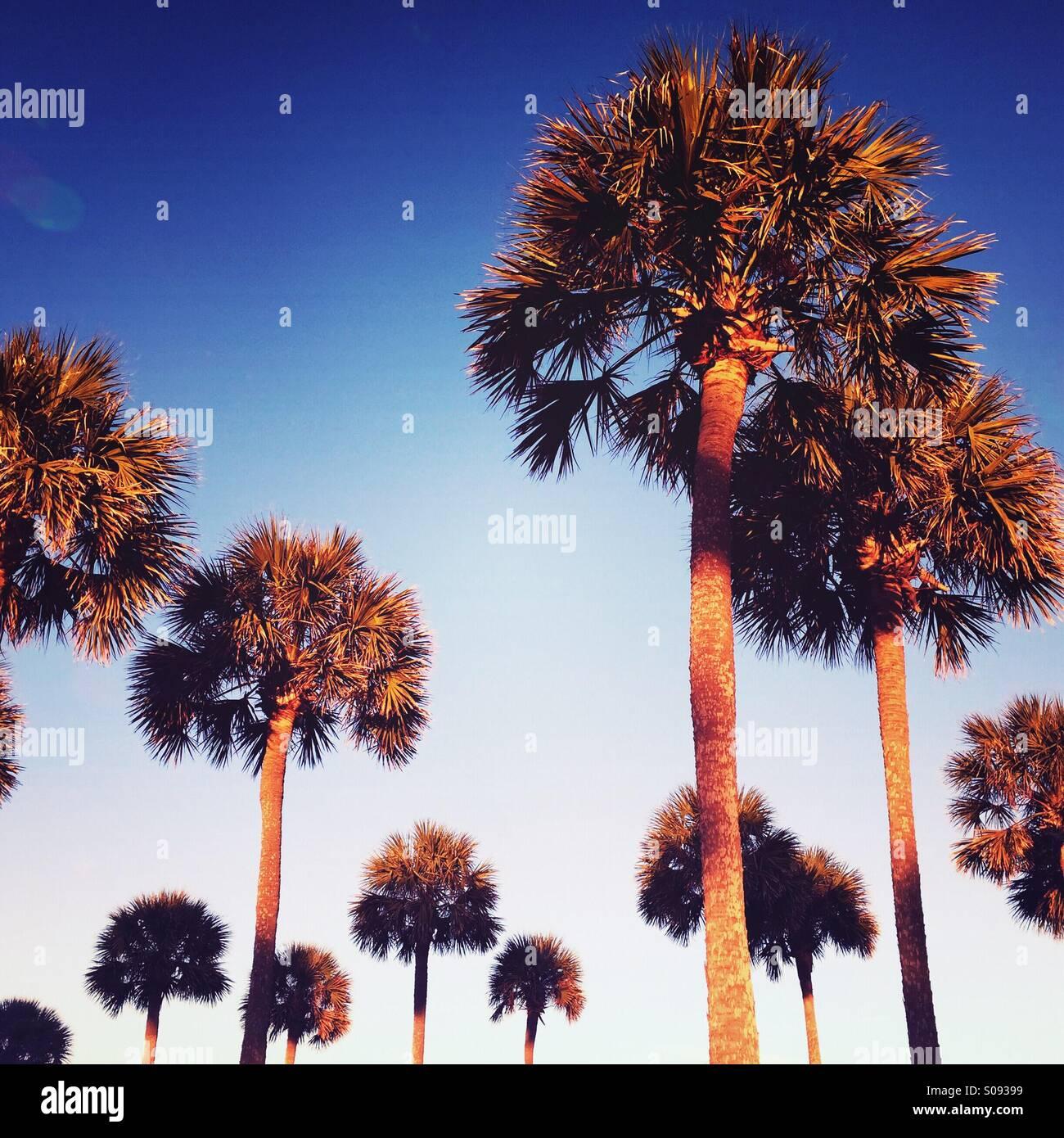 Palmetto Bäume Leuchten im Abendlicht auf Kiawah Island, South Carolina. Stockbild