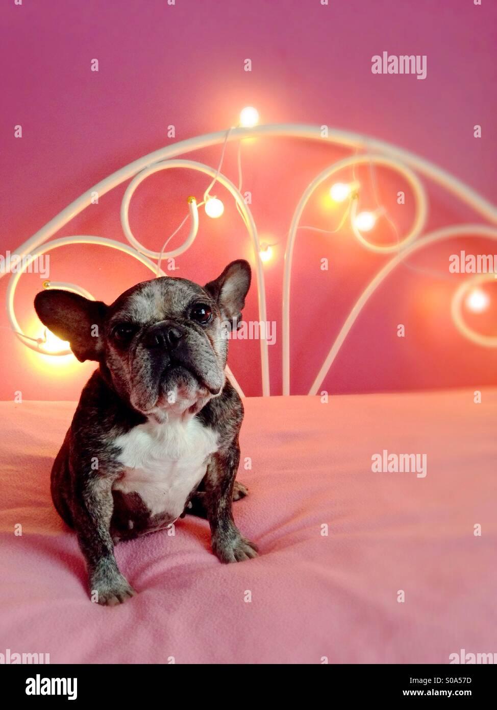 Eine nette alte französische Bulldogge sitzt auf einem rosa Bett. Stockbild