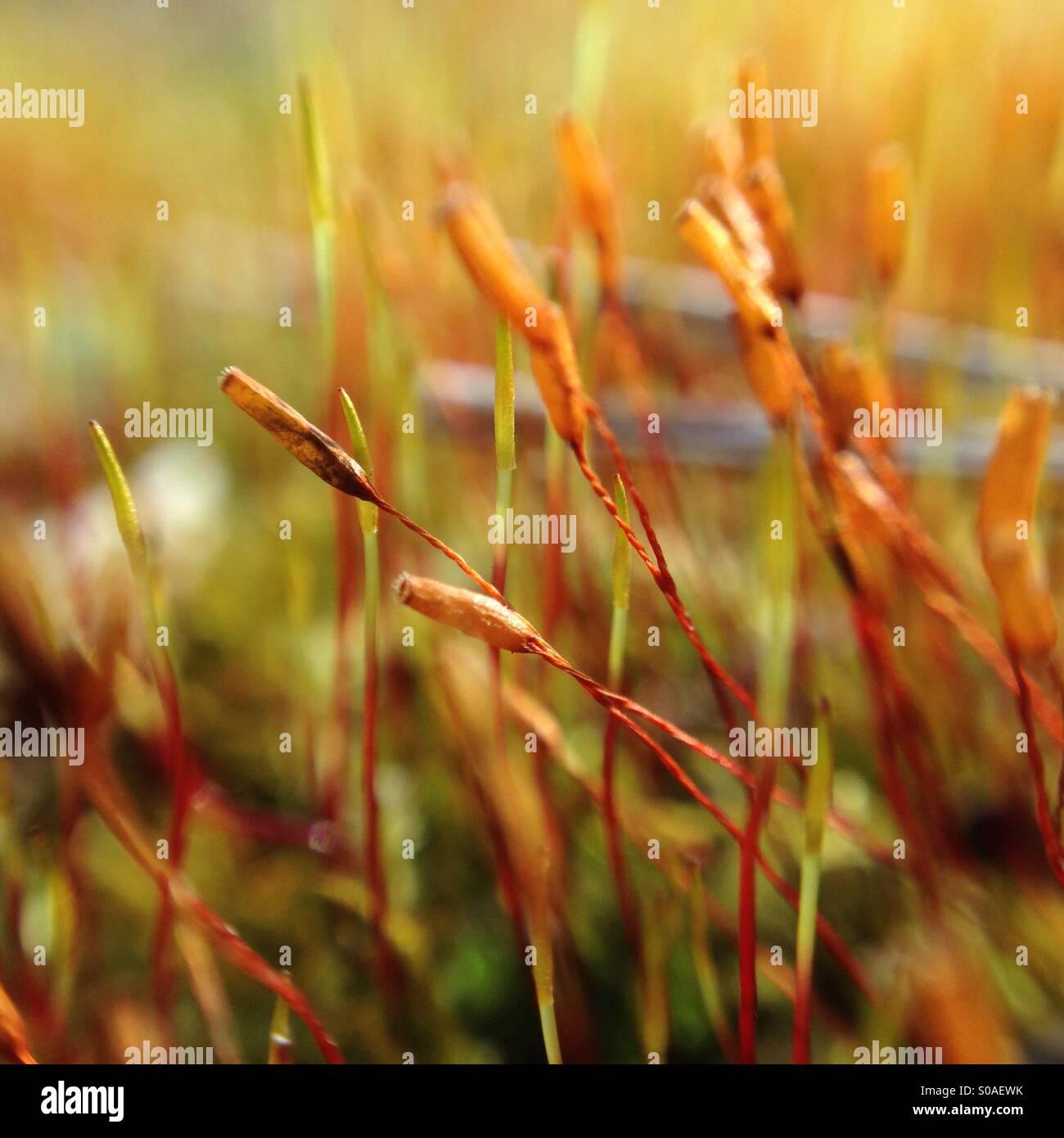 Gemeinsame Moossporen Stockfotos & Moossporen Bilder - Alamy &IS_52