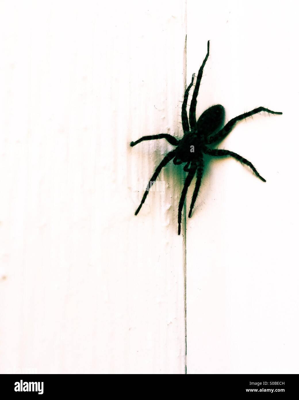 Schwarzer Wolf Spinne. Stockbild