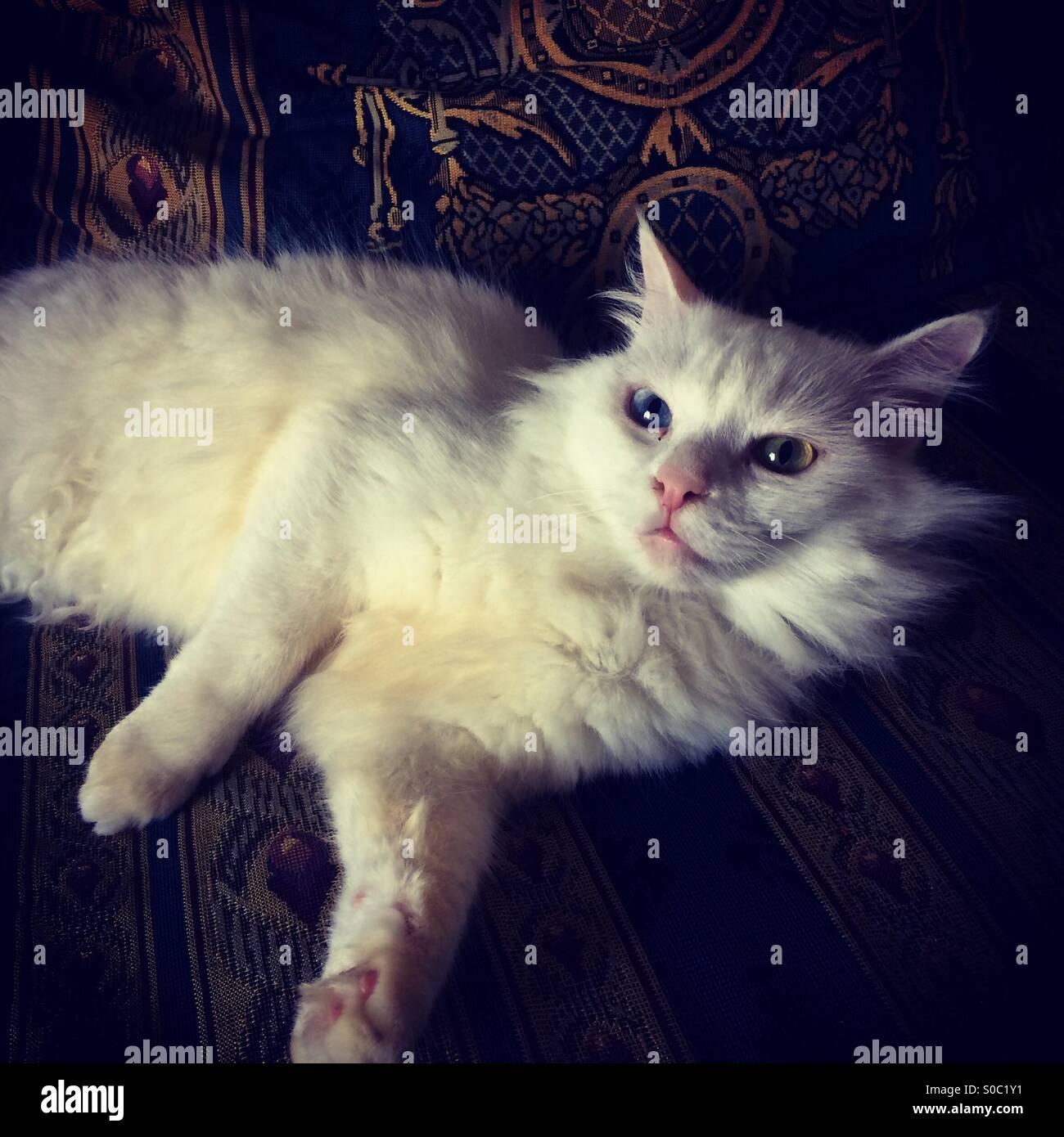 Angora weiß Katze auf Couch - odd eyed weiße Katze Stockfoto, Bild ...