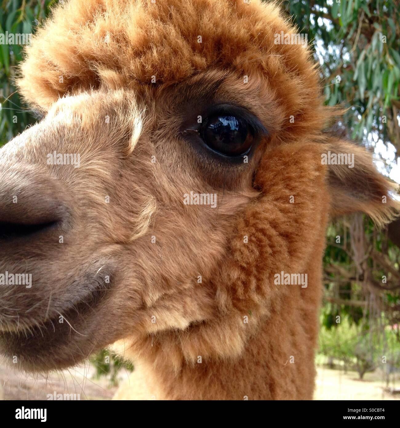 Alpaka kommt für einen Atemzug Stockfoto
