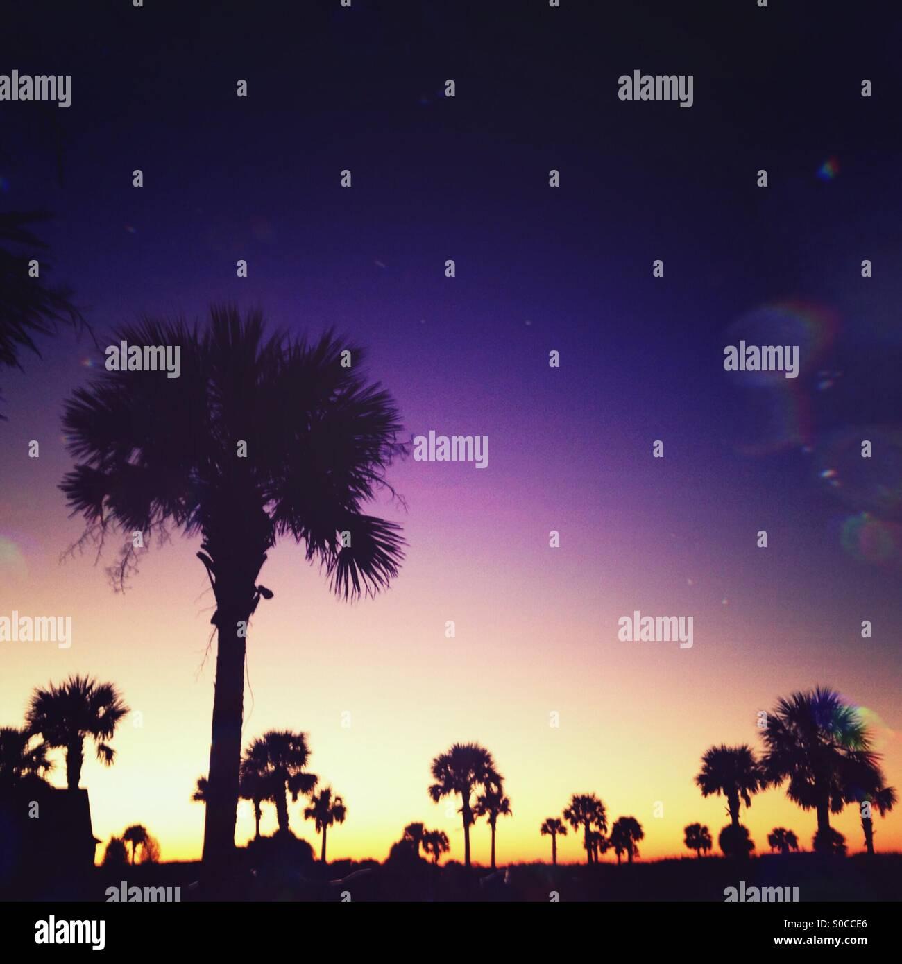 Silhouetten von Palmettos zeichnen sich gegen den Himmel kurz nach Sonnenuntergang auf Kiawah Island, SC Stockbild