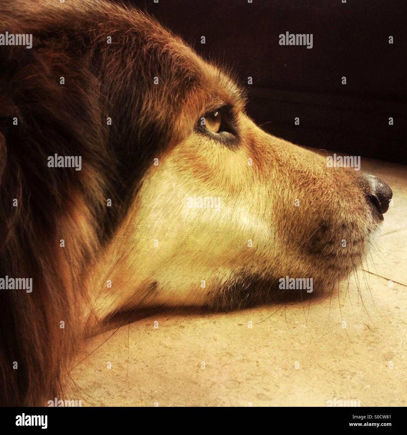 Ein Hund tief in Gedanken Stockbild