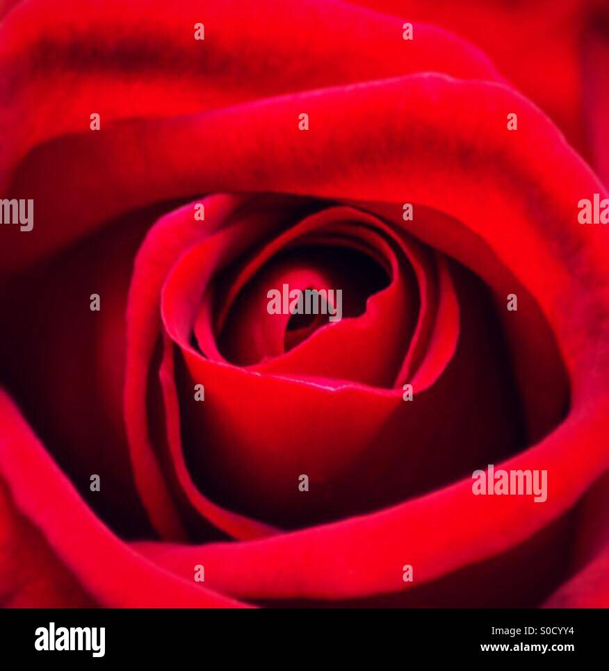 Eine wunderschöne rote Rose Nahaufnahme Stockbild