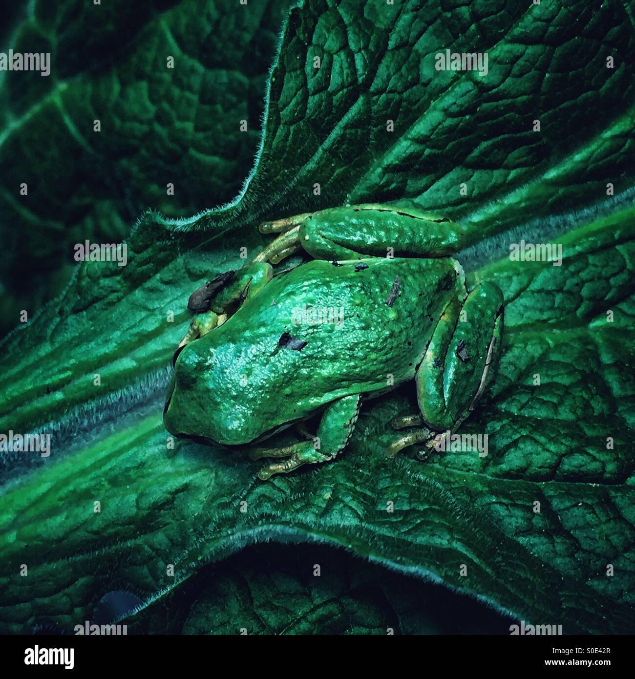 grüner Frosch auf grünes Blatt Stockbild